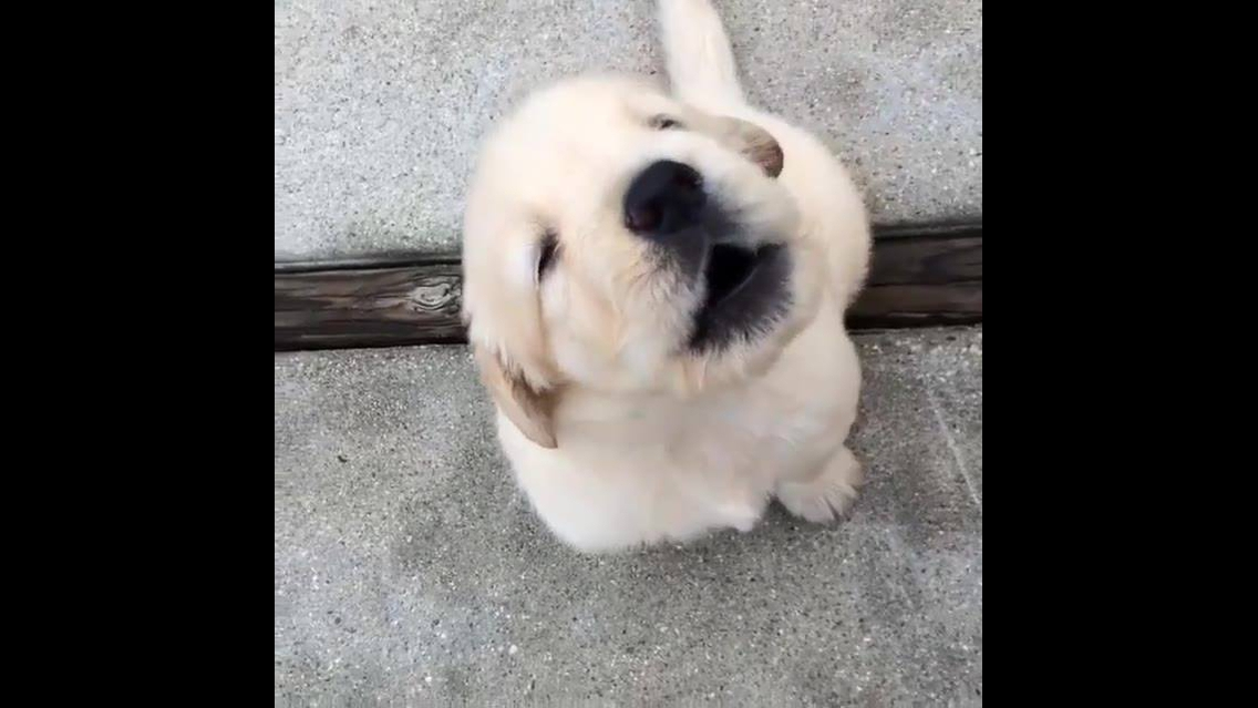 Filhote de cachorro uivando de forma bem fofinha