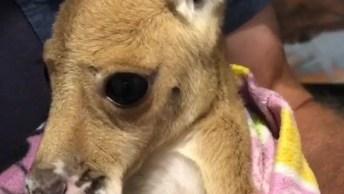 Filhote De Canguru Que Foi Resgatado, Olha Só Que Fofinho!