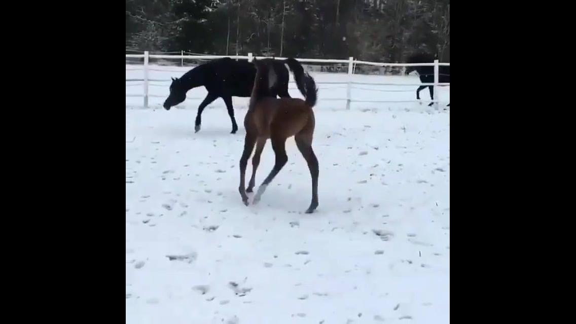 Filhote de cavalo andando com a mamãe na neve