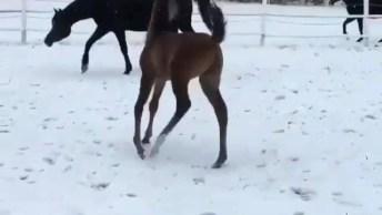 Filhote De Cavalo Andando Com A Mamãe Na Neve, Olha Só Que Lindo!