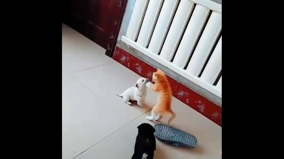 Filhote de gatinho com cachorrinho se conhecendo