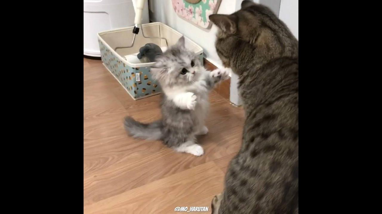 Filhote de gatinho enfrentando gato maior