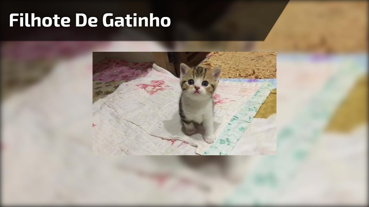 Filhote de gatinho