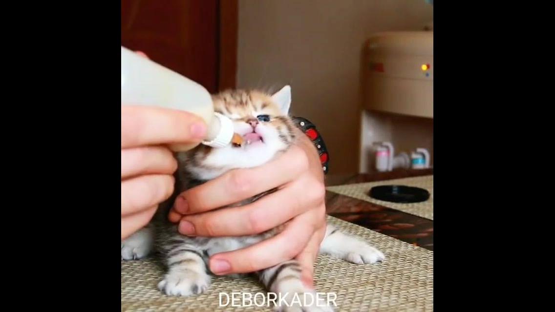 Filhote de gatinho mamando na mamadeira