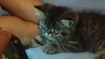 Filhote De Gato Assistindo Vídeo No Celular, Olha Só A Carinha Dele!
