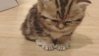 Filhote De Gato Cochilando Sentado, Olha Só Que Criaturinha Mais Fofa!