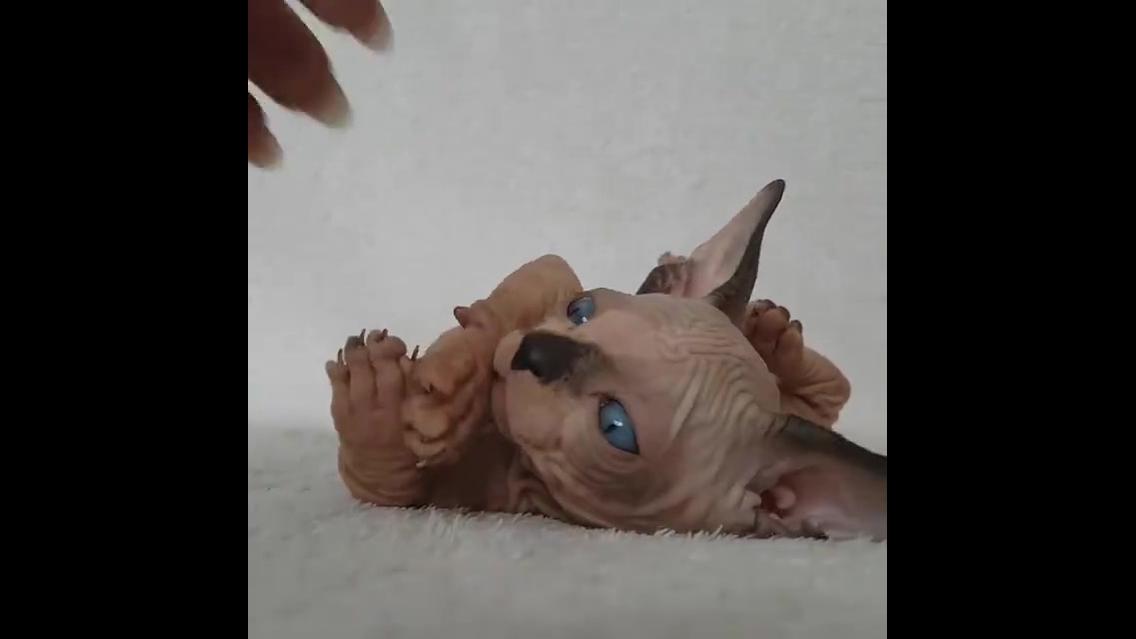 Filhote de gato da raça sphynx