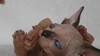 Filhote De Gato Da Raça Sphynx, Olha Só Estes Olhos Azuis E Estas Dobrinhas!