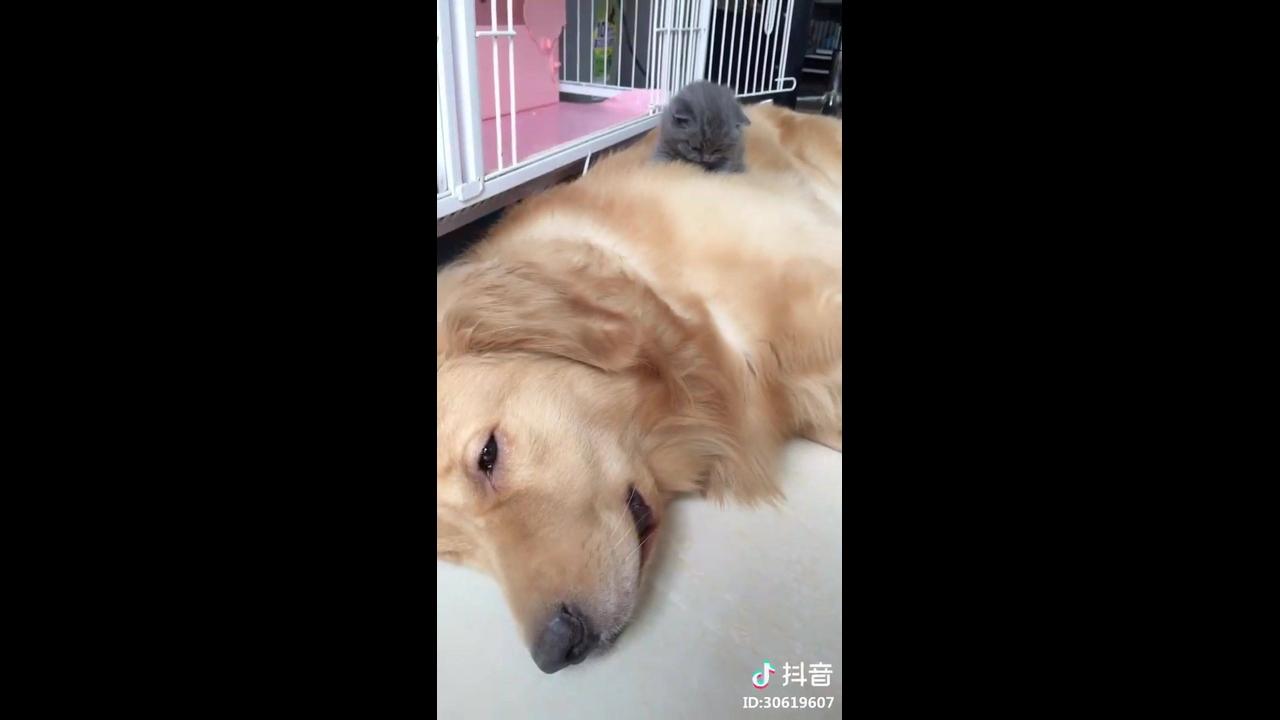 Filhote de gato deitado em cima de cachorro grande