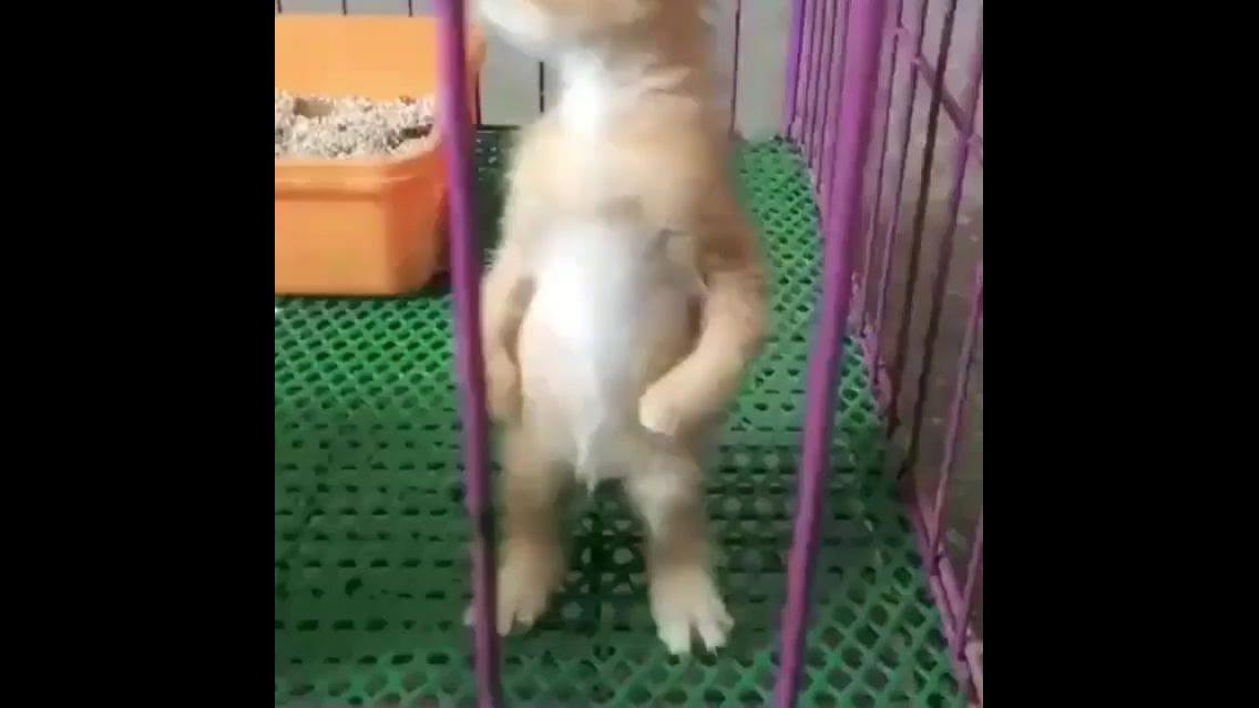 Filhote de gato miando em pé, que gatinho mais fofinho