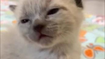 Filhote De Gato Soluçando, Impossível Não Se Encantar Com Esta Criaturinha!