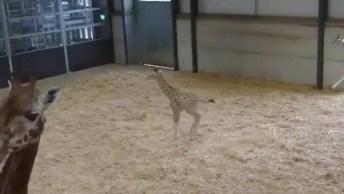 Filhote De Girafa Correndo Para Todos Os Lados, Olha Só Que Belezinha!