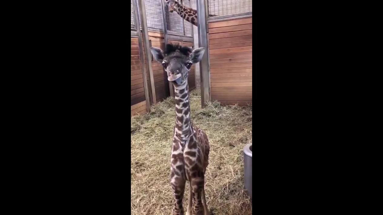Filhote de girafa, uma criatura linda e fofinha