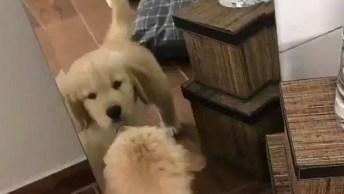 Filhote De Golden Apaixonado Por Seu Reflexo No Espelho, Olha Só Que Fofinho!