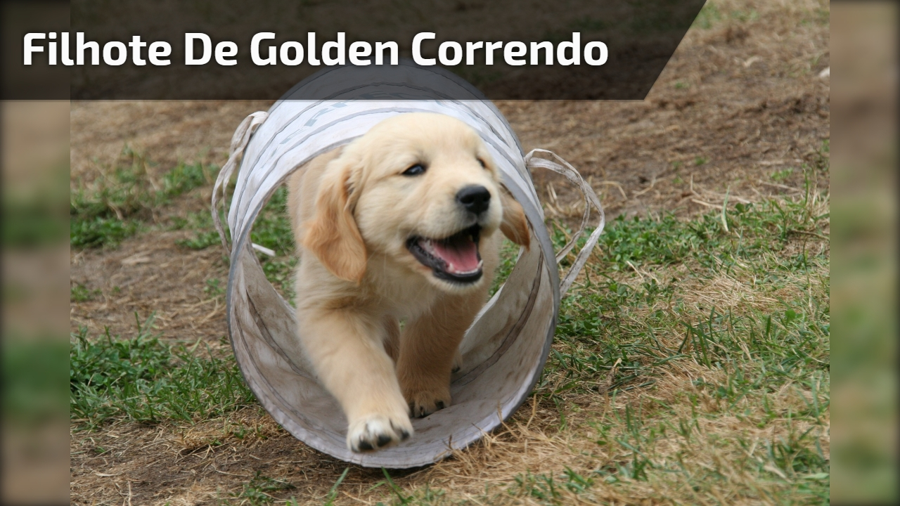 Filhote de golden correndo