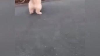 Filhote De Golden Retriever Brincando Com Bolinha De Tênis!