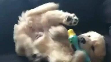 Filhote De Golden Retriever Brincando Com Seu Brinquedo Favorito!
