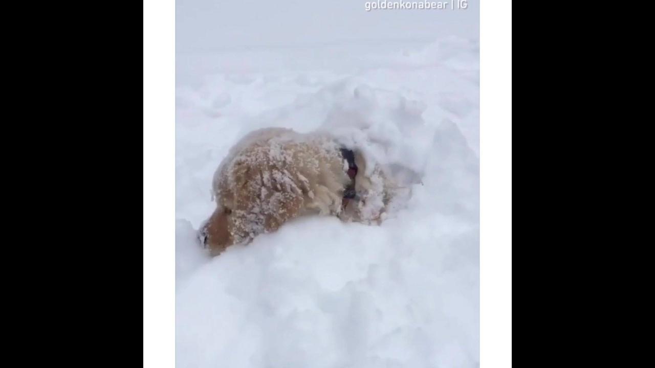 Filhote de golden retriever brincando na neve