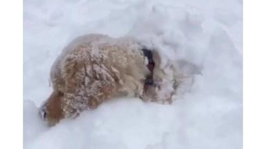 Filhote De Golden Retriever Brincando Na Neve, Veja Como Ele Esta Gostando!