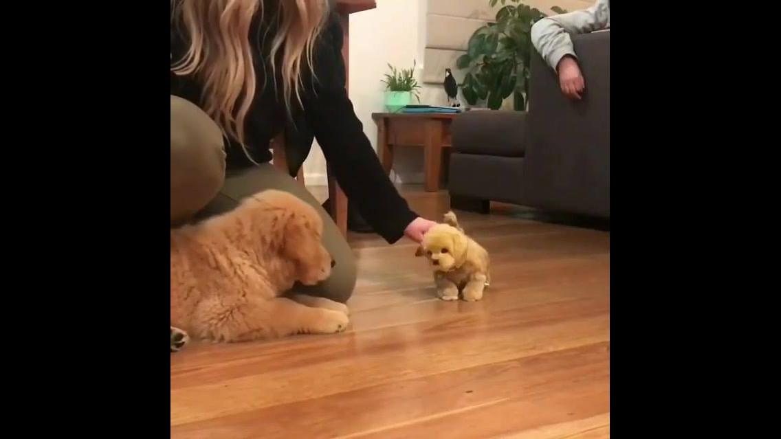 Filhote de golden retriever com medo de cachorrinho de brinquedo!!!