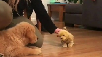 Filhote De Golden Retriever Com Medo De Cachorrinho De Brinquedo!