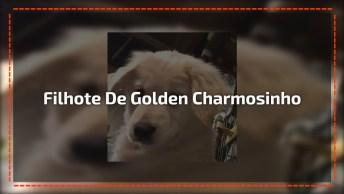 Filhote De Golden Retriever Fazendo Charminho Para Câmera!