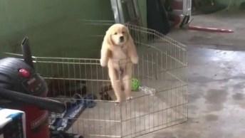 Filhote De Golden Retriever Fugindo De Cercadinho, Olha Só A Carinha Dele!