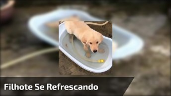 Filhote De Golden Retriever Se Refrescando Na Banheira No Quintal, Confira!
