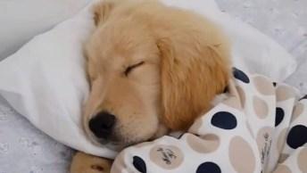 Filhote De Golden Retriever Tirando Uma Soneca Em Sua Caminha!