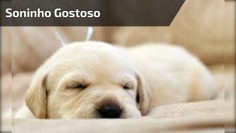 Filhote De Golden Retriever Tirando Uma Soneca No Colo, Olha Só Que Fofinho!