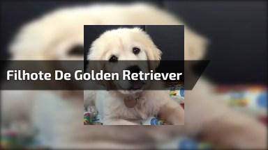 Filhote De Golden Retriever Virando A Cabecinha De Maneira Fofa!