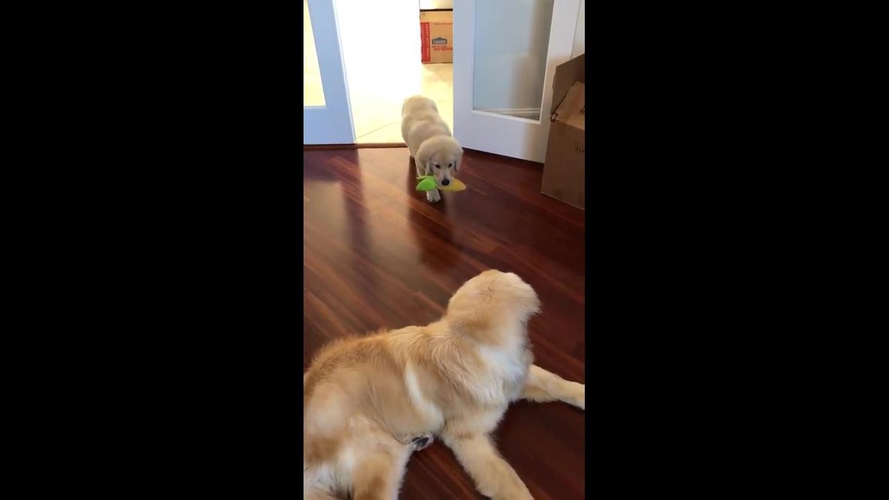 Filhote de Golden se preparando para brincar com a mamãe