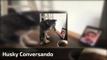 Filhote De Husky Conversando Com Seu Dono Em Vídeo Chamada!