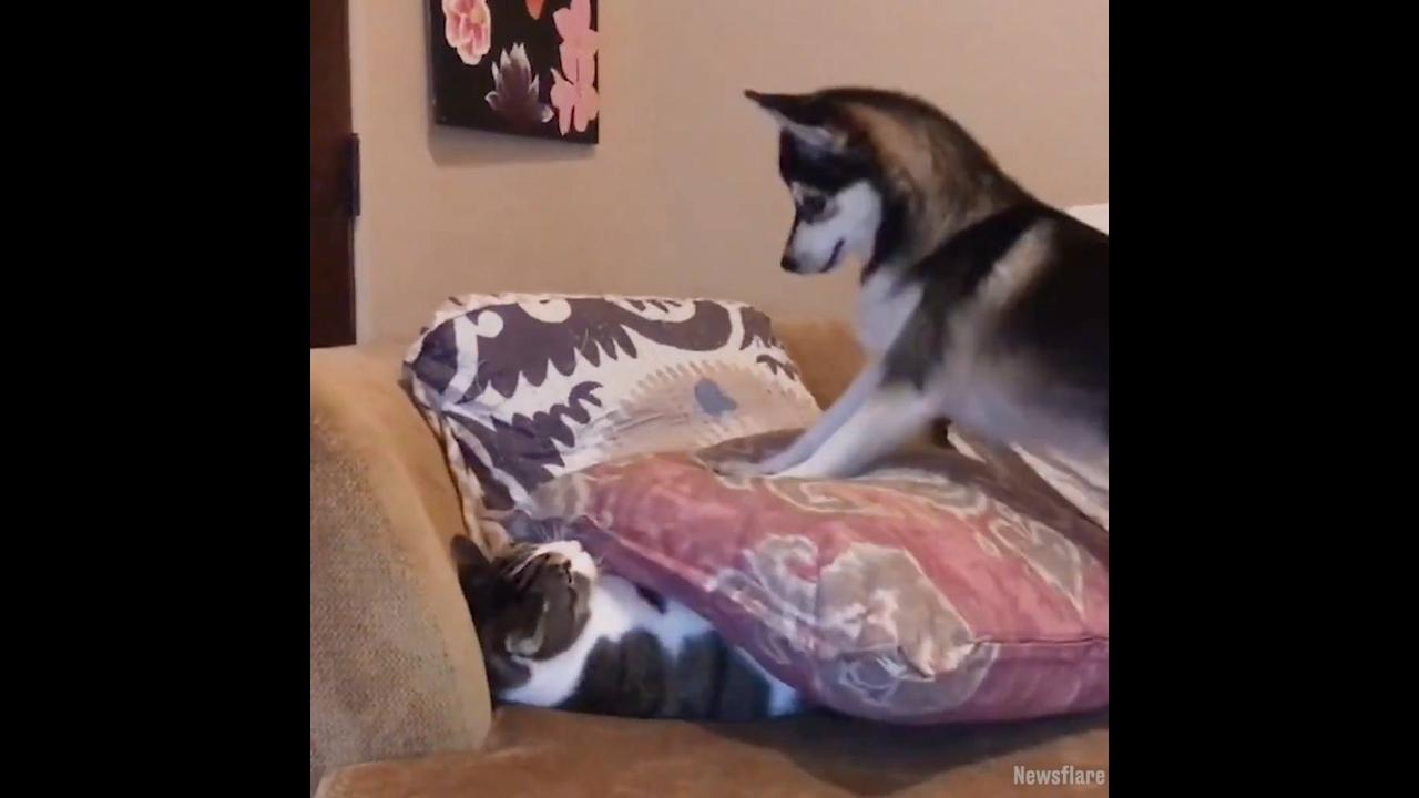 Filhote de husky siberiano brincando com seu amigo gato