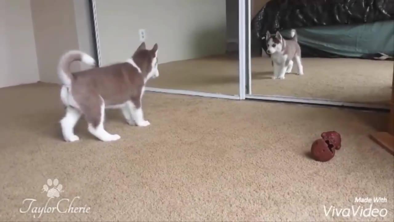 Filhote de husky siberiano brincando com seu reflexo no espelho