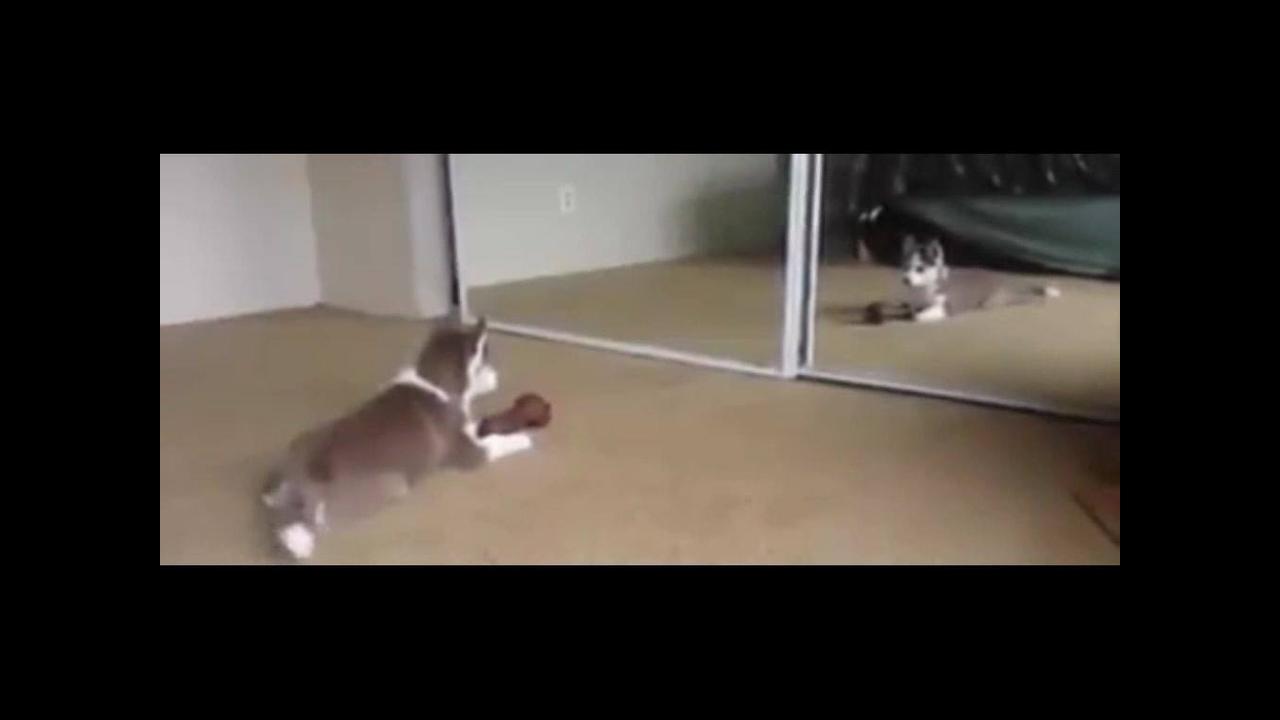 Filhote de husky siberiano brincando com sua imagem no espelho