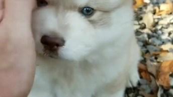 Filhote De Husky Siberiano Da Cor Branca E Bege, Veja Que Lindo!