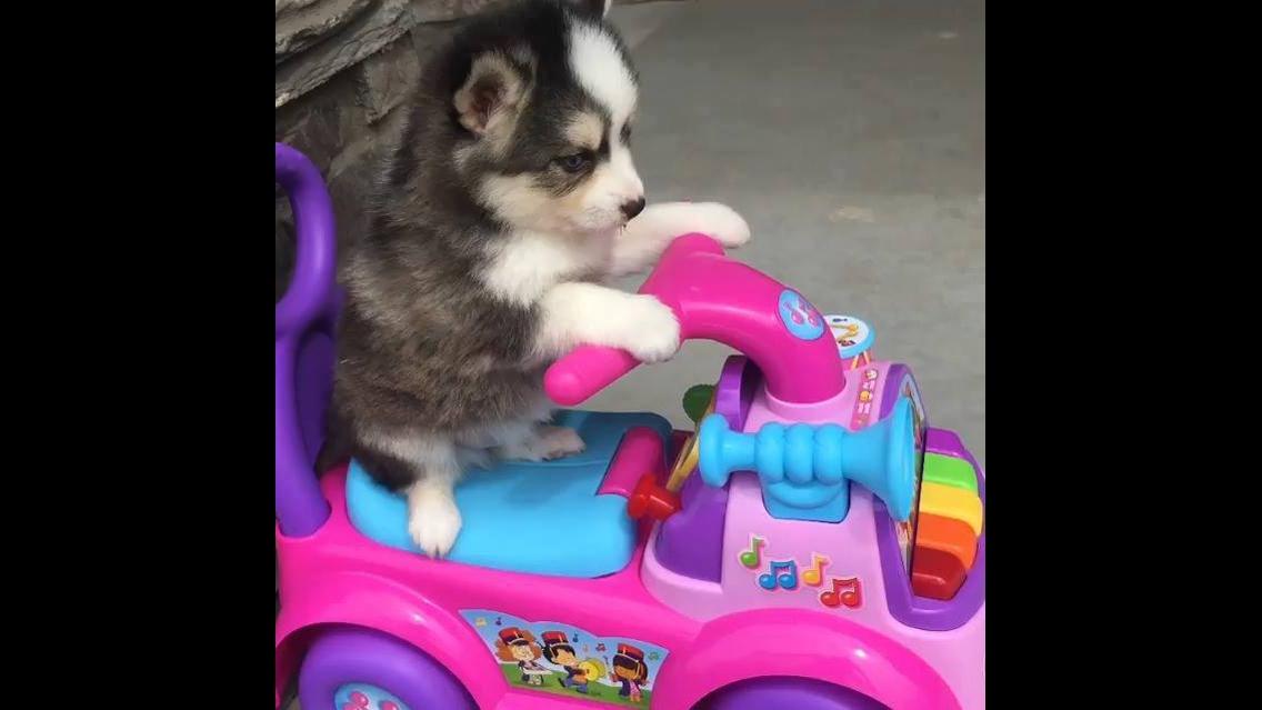 Filhote de husky siberiano dando um voltinha de moto