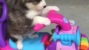 Filhote De Husky Siberiano Dando Um Voltinha De Moto, Veja Que Fofura!