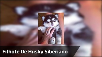 Filhote De Husky Siberiano Mais Fofo Que Você Já Viu Na Vida!