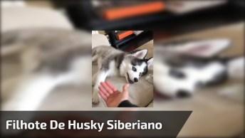 Filhote De Husky Siberiano, Olha Só A Carinha Deste Amiguinho Que Fofo!