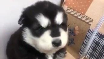 Filhote De Husky Siberiano Uivando, Olha Só Que Coisinha Mais Fofinha!
