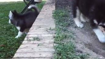 Filhote De Husky Subindo Degrau Todo Desengonçado, Olha Só Que Fofo!