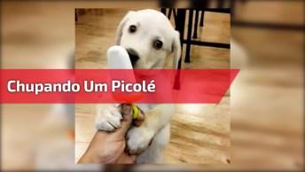 Filhote De Labrador Chupando Um Picolé, Olha Só Que Fofura!