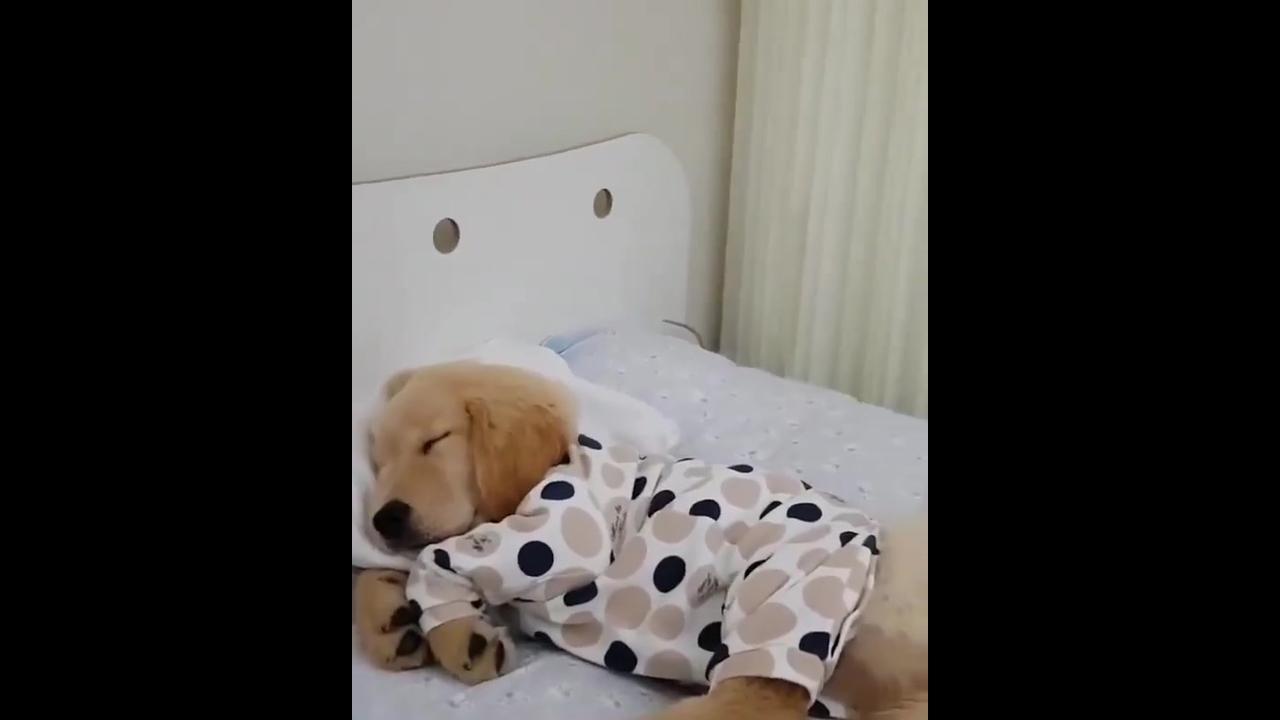 Filhote de labrador tirando uma soneca na cama com pijama e tudo!!!
