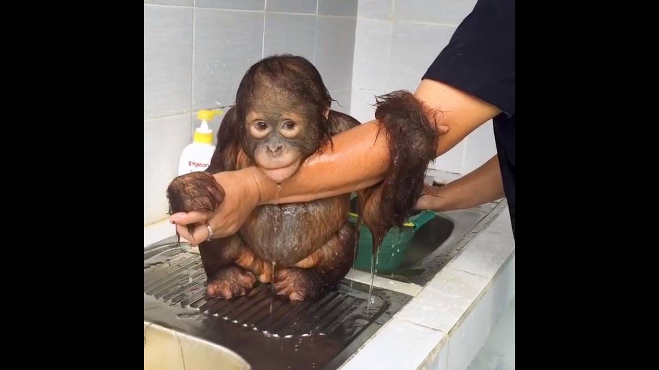 Filhote de macaco tomando banho de caneca, ficou limpinho!