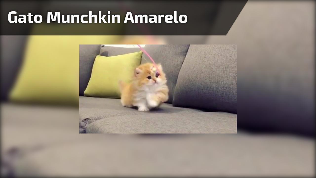Gato Munchkin amarelo