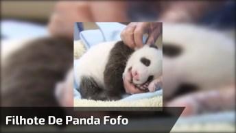 Filhote De Panda, Quem Já Viu Uma Fofura Dessa De Perto?