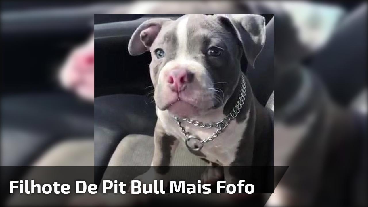 Filhote de pit bull mais fofo