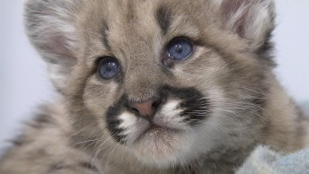 Filhote De Puma, Que Animal Mais Lindo, A Natureza É Perfeita!